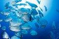 Free School Of Batfish Royalty Free Stock Photos - 20622738