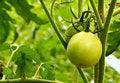 Free Green Tomato Stock Photos - 20625123