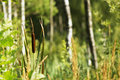 Free Reeds In The Swamp Royalty Free Stock Photography - 20627857