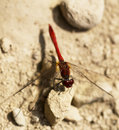 Free Red Dragonfly Stock Photos - 20627923
