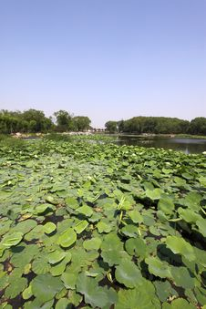 Free Lotus Pond In A Park Stock Photography - 20620302
