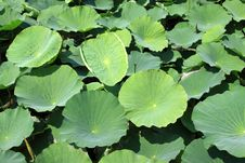 Free Lotus Leaves In A Park Stock Photography - 20620612