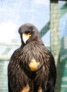 Frontal Study Of A Black Caracara Bird Of Prey Royalty Free Stock Images