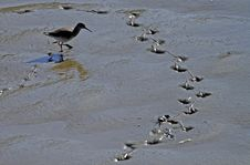 Free Redshank, Follow My Trail. Stock Images - 20620964