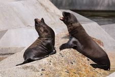 Free Sea Lion Juveniles Stock Photo - 20621350