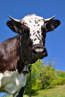 Free Cow On A Summer Pasture Royalty Free Stock Image - 20621406