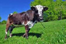 Free Cow On A Summer Pasture Royalty Free Stock Photography - 20621407