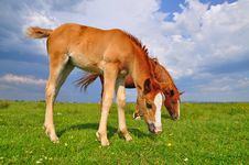 Free Foal With A Mare On A Summer Pasture Royalty Free Stock Images - 20621409