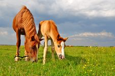 Free Foal With A Mare On A Summer Pasture Stock Photo - 20621410