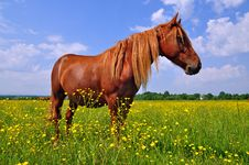 Free Horse On A Summer Pasture Stock Photos - 20621413