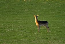 Free Solitary Deer: Fallow Buck Fawn. Royalty Free Stock Photos - 20621418