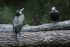 Free Great Cormorant Stock Photo - 20621480