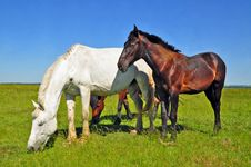 Free Horses On A Summer Pasture Royalty Free Stock Image - 20621486