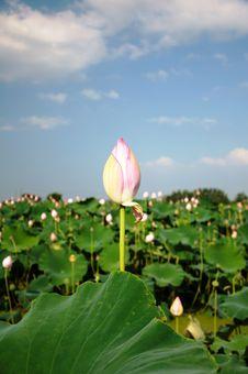 Free Lotus Bud Stock Images - 20621564