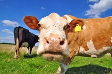 Free Cow On A Summer Pasture Royalty Free Stock Photo - 20621605