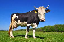 Free Cow On A Summer Pasture Stock Photo - 20621680