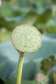 Free Lotus Seeds Royalty Free Stock Photo - 20621685