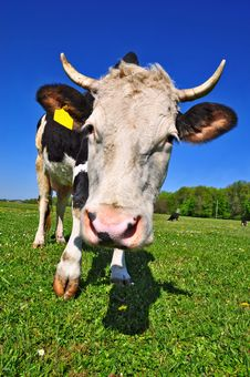 Cow On A Summer Pasture Royalty Free Stock Image