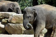 Free Asian Elephant Royalty Free Stock Image - 20621796