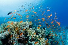 Free Beautiful Coral Reef With Anthias Royalty Free Stock Photo - 20622465