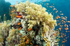 Free Beautiful Coral Reef With Anthias Royalty Free Stock Images - 20622809