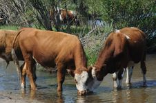 Free Cows In Water Stock Images - 20623514