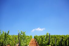 Free Vineyard Royalty Free Stock Photo - 20624895