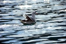 Free Seagull In The Sunshine Stock Photo - 20625440