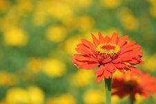 Free Zinnia Flower Stock Photography - 20625502