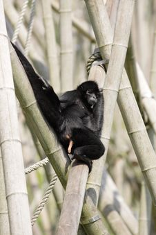 Free Brown-headed Spider Monkey Royalty Free Stock Photos - 20625658