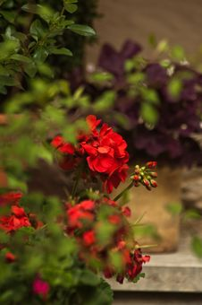 Red Geranium Flower Royalty Free Stock Image