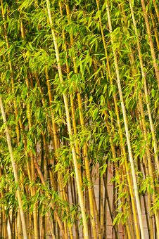Free Bamboo Stock Image - 20626071