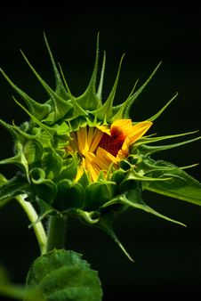 Free Unfurling Sunflower Stock Photo - 20626120