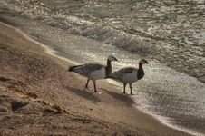 Free Canada Geese Stock Image - 20627051