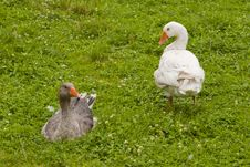 Free Pair Of Geese Stock Photo - 20627310