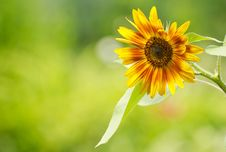 Free Close Up Sunflower. Royalty Free Stock Images - 20627959