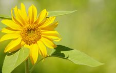 Free Close Up Sunflower. Stock Photo - 20627980
