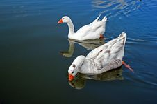 Free Swimming Geese Royalty Free Stock Photos - 20629148