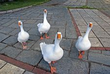 Free Funny Geese Royalty Free Stock Photo - 20629185
