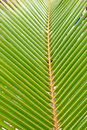 Free Green And Yellow Leaf Of A Palm Tree Royalty Free Stock Images - 20638039