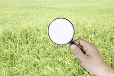 Free Finding Rice Royalty Free Stock Photo - 20630075