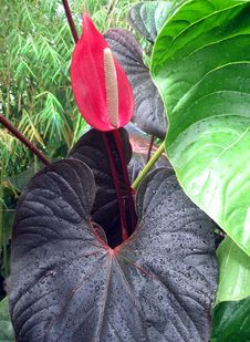 Free Anthurium Stock Photo - 20630710