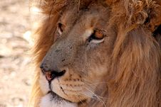 Free Old Lion Male Stock Photography - 20630912