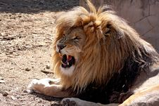 Free Male Lion Royalty Free Stock Image - 20631006