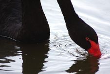 Free Swan Stock Photos - 20631103