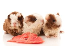 Guinea Pigs. Baby Royalty Free Stock Images