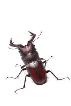 Free Stag Beetle Stock Photos - 20632853
