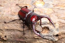 Stag Beetle Royalty Free Stock Photo