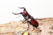 Free Stag Beetle Royalty Free Stock Images - 20632879
