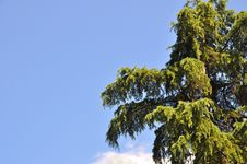 Free Pine Tree Royalty Free Stock Images - 20633009